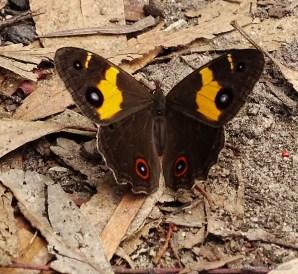 papillon aux Blue Mountains