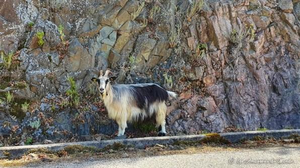 chèvres sur la route corse