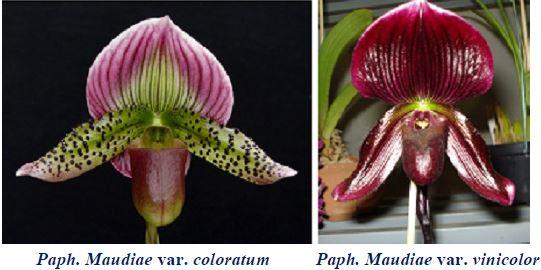 Paphiopedilum Coloratum