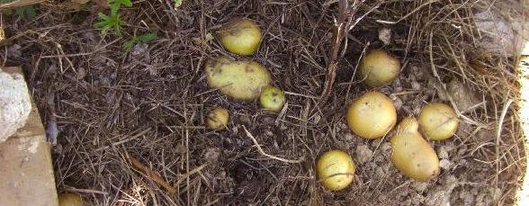aventures en permaculture 18 la pomme de terre le sauvage. Black Bedroom Furniture Sets. Home Design Ideas