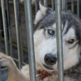 Happy End pour ses huskies