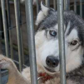 Happy End pour ses huskies