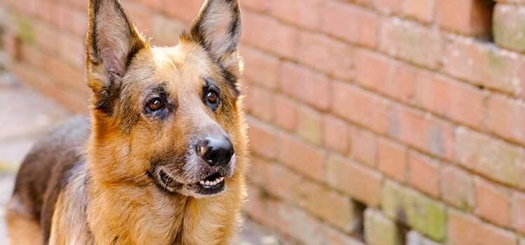 Top 10 des races de chien de garde