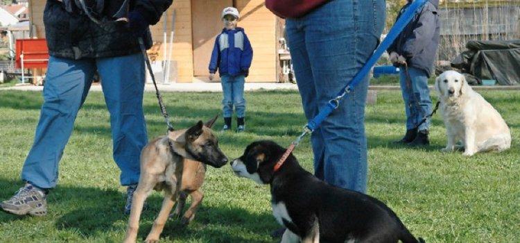 Le Valais va réintroduire les cours canins obligatoires