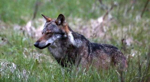 Une nouvelle louve a été observée