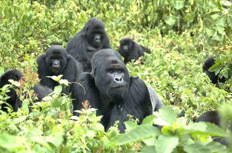 Risultati immagini per immagine gorilla di montagna