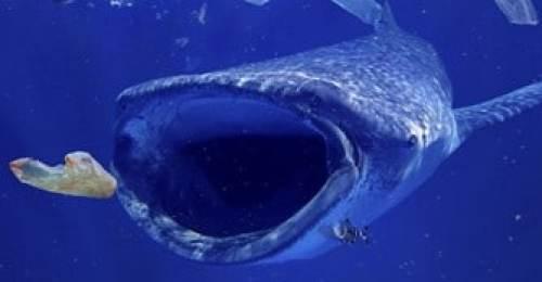 Requin avalant un sac plastic
