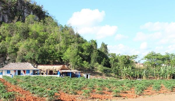 vinales champs de tabac