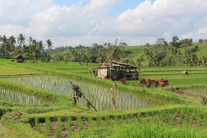 rizieres jatilawih