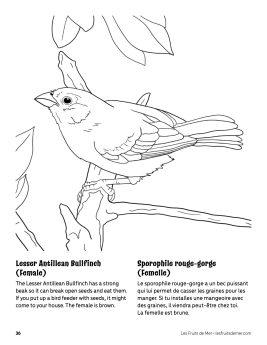 AAM-Female-Bullfinch