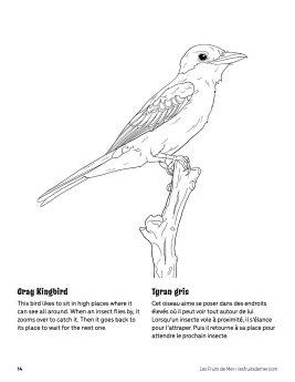 AAM-Gray-KIngbird