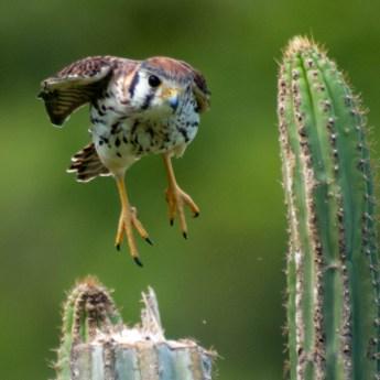 Falco sparverius 2804