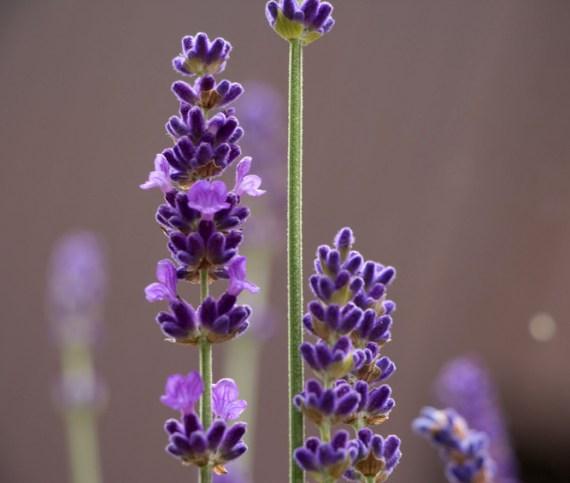 Lavendelstimmung