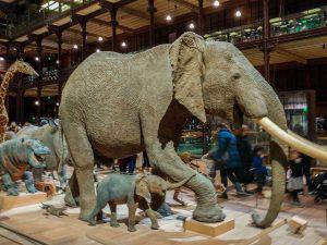 Elephant et son petit a la grande galerie de l'evolution de Paris