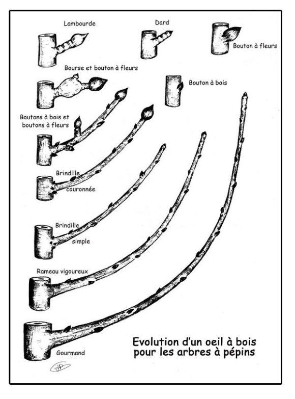 Pour bien réaliser la taille des pommiers et poiriers palissés il faut comprendre les différents bourgeons pour bien tailler.