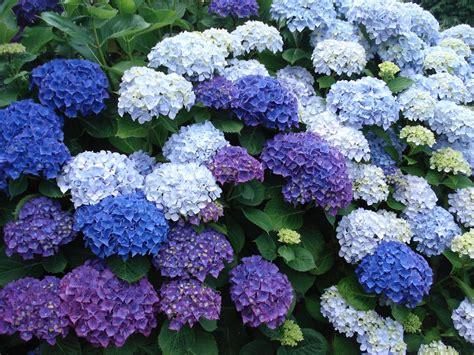 Pratiquez la taille des hortensias pour les aider à bien fleurir.