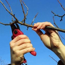 Pour bien pratiquer la taille des arbres fruitiers à noyau, le sécateur est un outil indispensable.