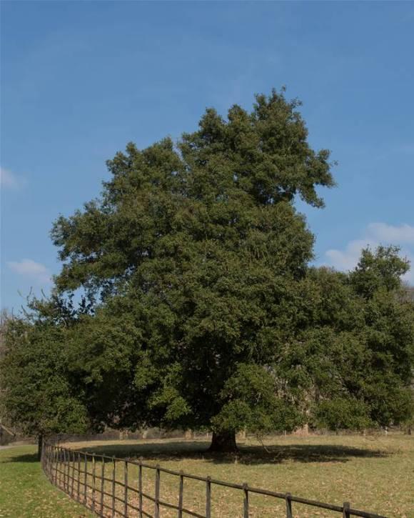 La plantation des arbres à feuillage persistant