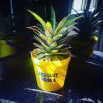 DIY : comment faire pousser son propre ananas ?