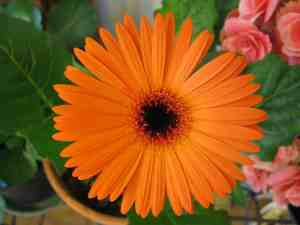 Read more about the article Le gerbera