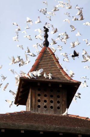 Envol pigeons