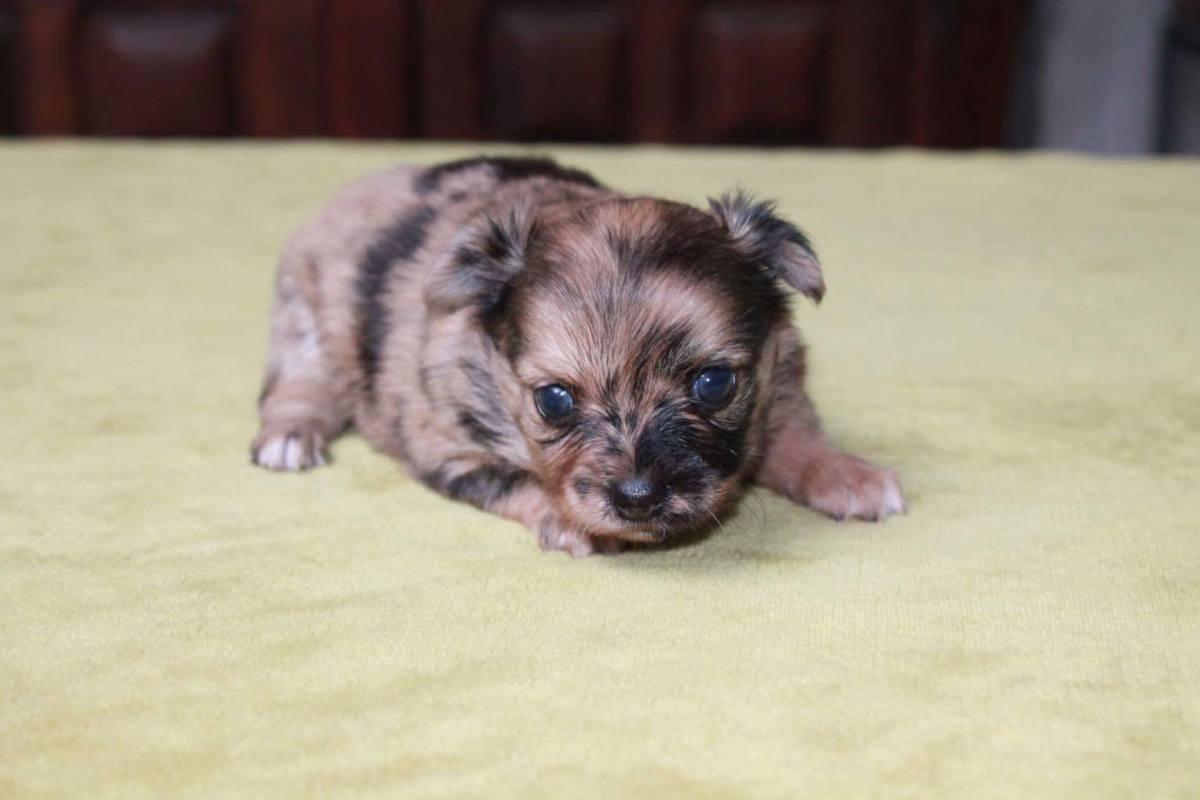Chihuahua bébé 2