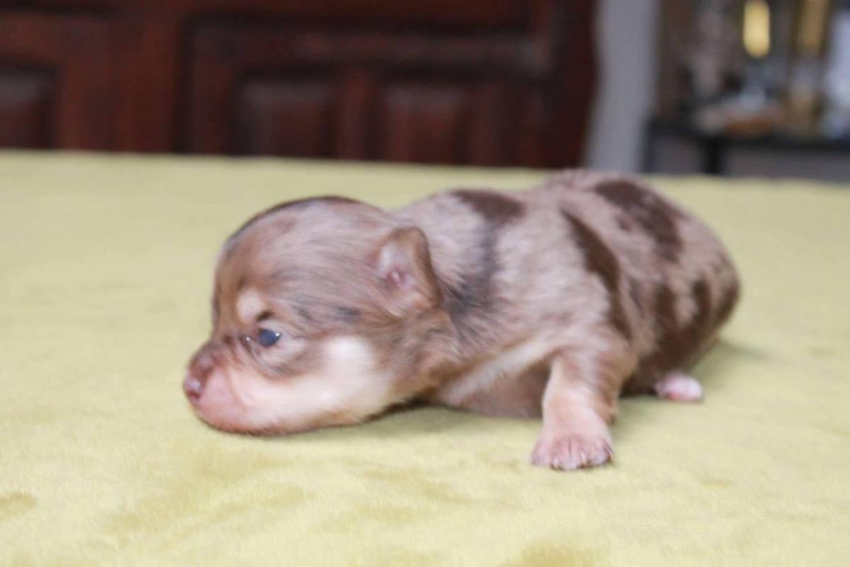 Chihuahua bébé 4