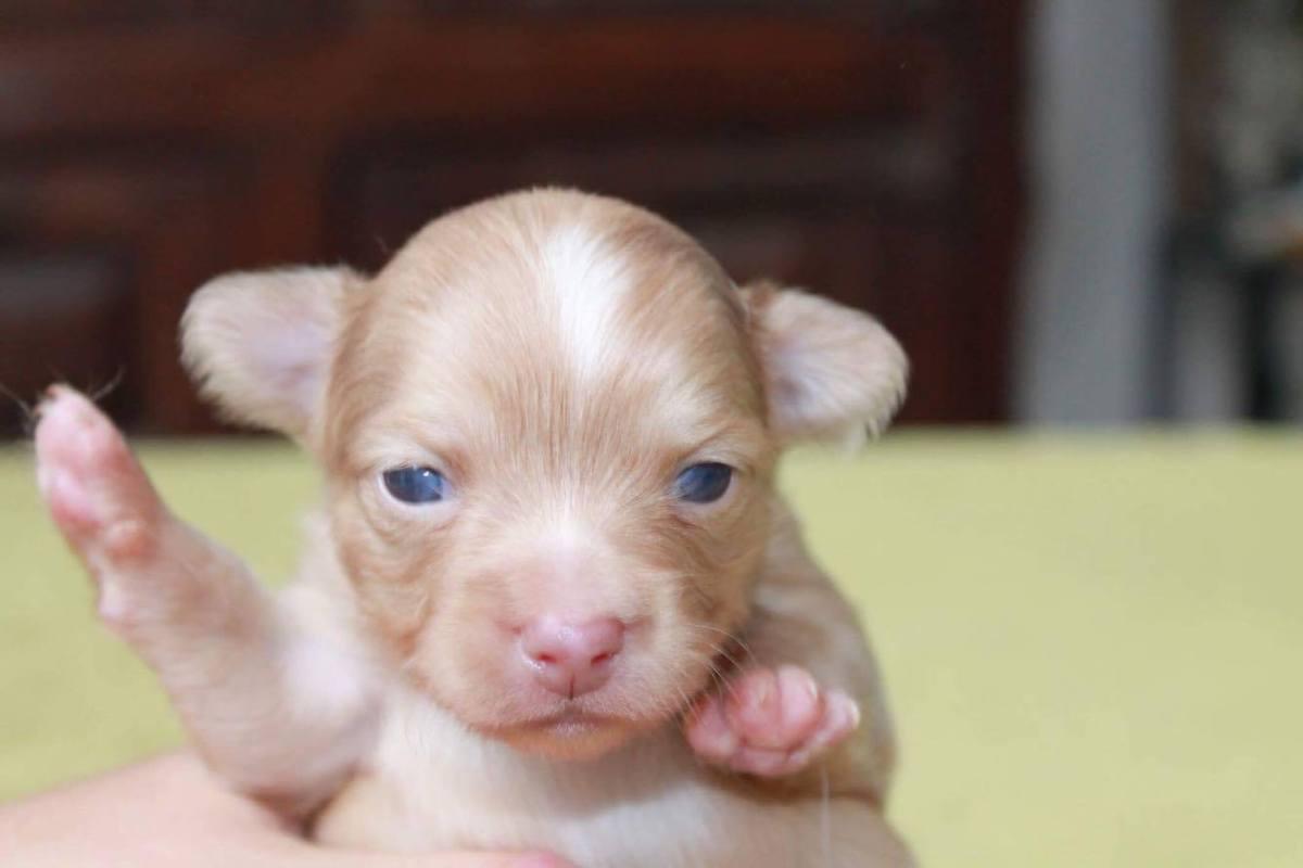 Chihuahua bébé 5