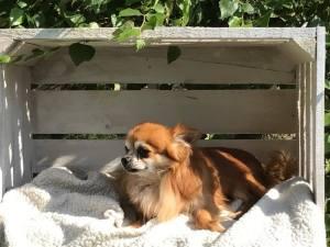 Cretchon Chihuahua