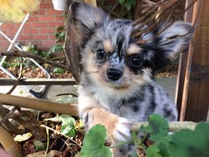 Chihuahua Hélios