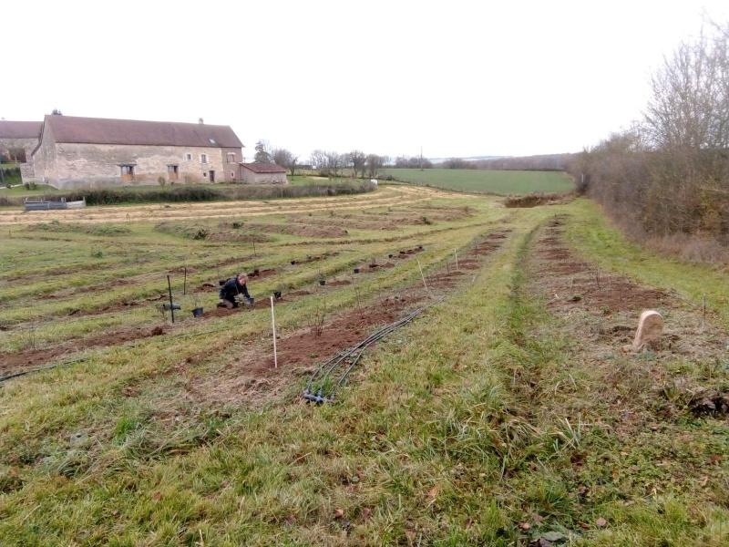 plantation de la rhubarbe au vergers de l'amélanche