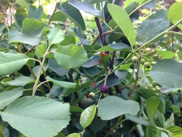 Feuillage amelanchier alnifolia