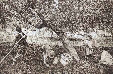 un paysan gaule les pommes
