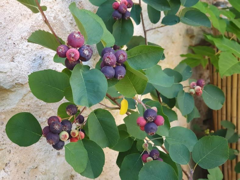 arbre amélanchier et fruits de juin