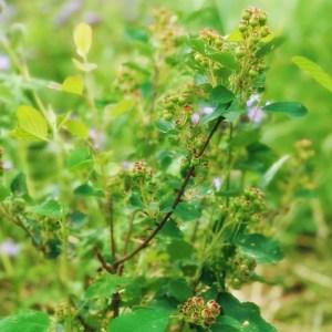 alnifolia