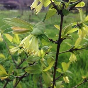 fleurs camerisier