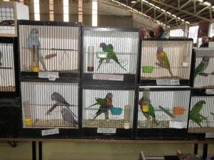 Crammed scared parrots in small dirty boxes at Mornington Peninsula Birds show May 2014, Melbourne