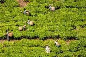 Cueillette de thé en Tanzanie