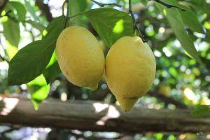 limoni favolosi campania