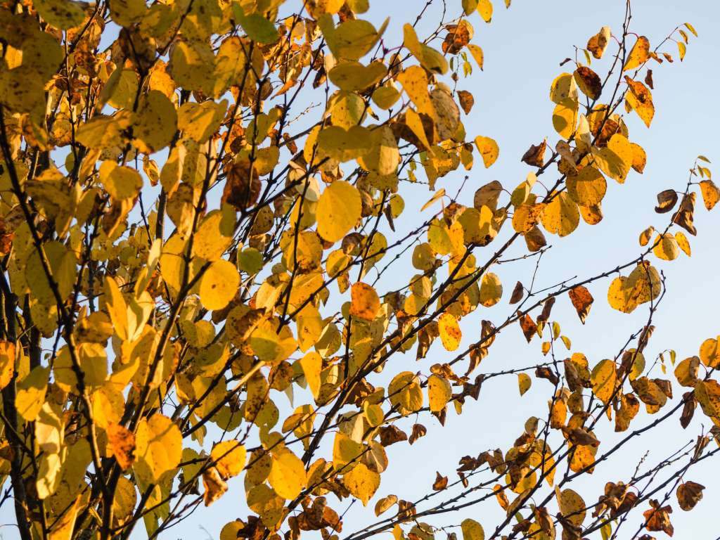 Aspen leaves against blue sky in fall