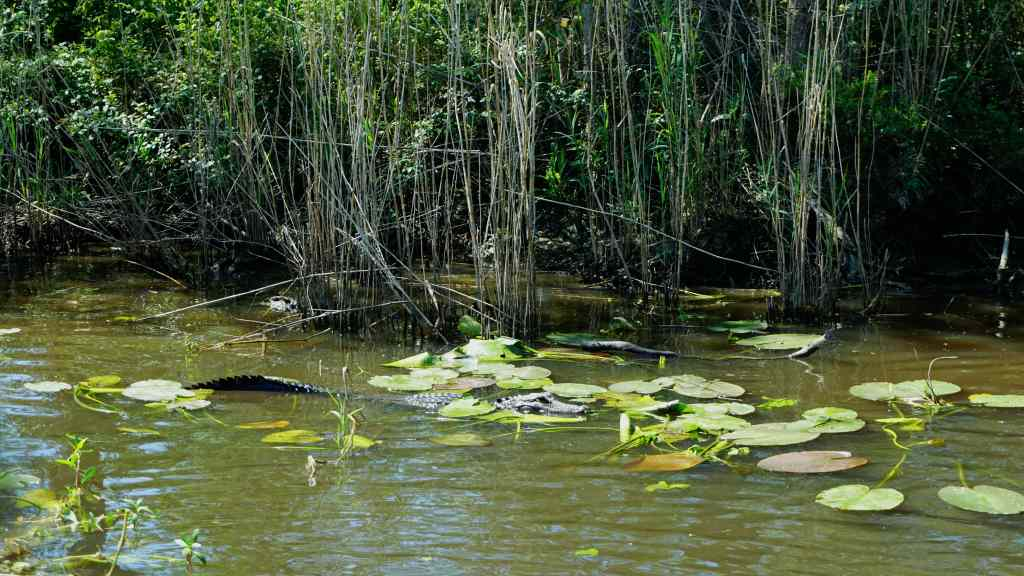 New Orleans Attractions for Kids - swamp tour gator