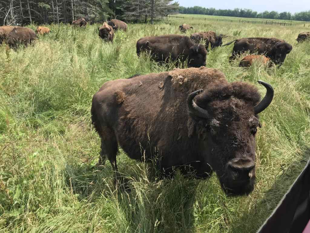 Shipshewana with kids - Cook's Bison Ranch