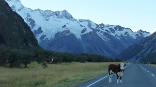 vache sur la route mont cook