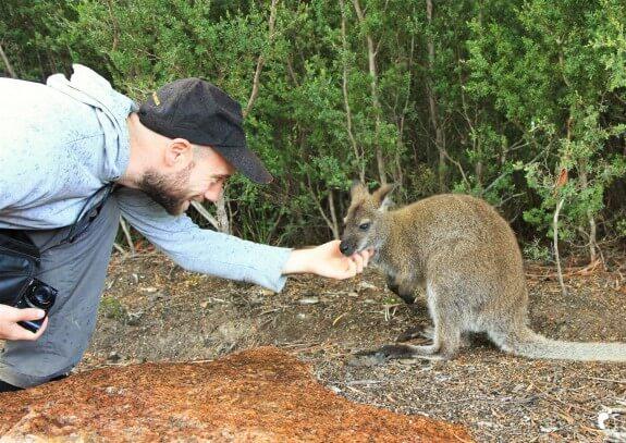 rencontre wallaby tasmanie
