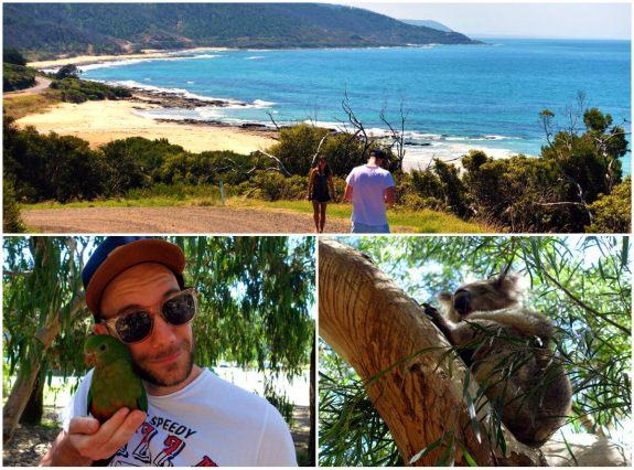 kennett river koala