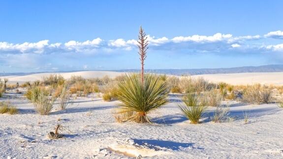 vegetation white sands national monument
