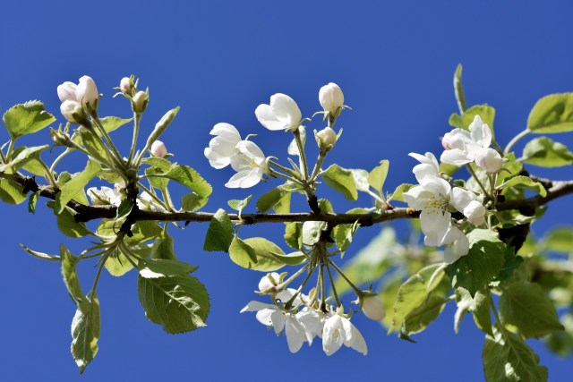 fioritura del melo