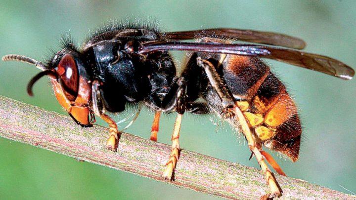 Il décède après avoir été attaqué par un essaim de frelons asiatiques