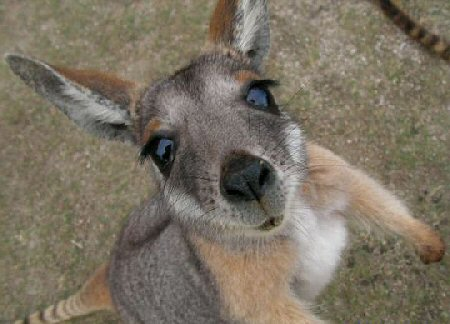 Kangaroo Arm Wrestling