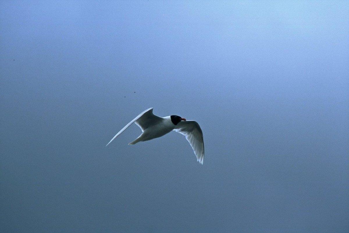 Črnoglavi galeb Foto: D.Denac